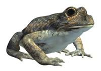 123C 3D Model Eastern Banjo Frog